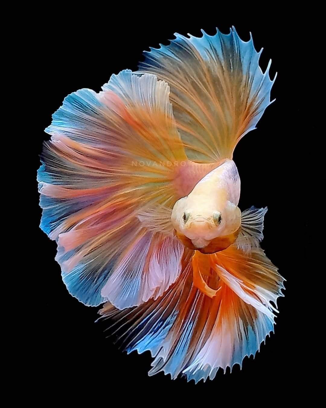 Indahnya Ikan Cupang, Orange Colour
