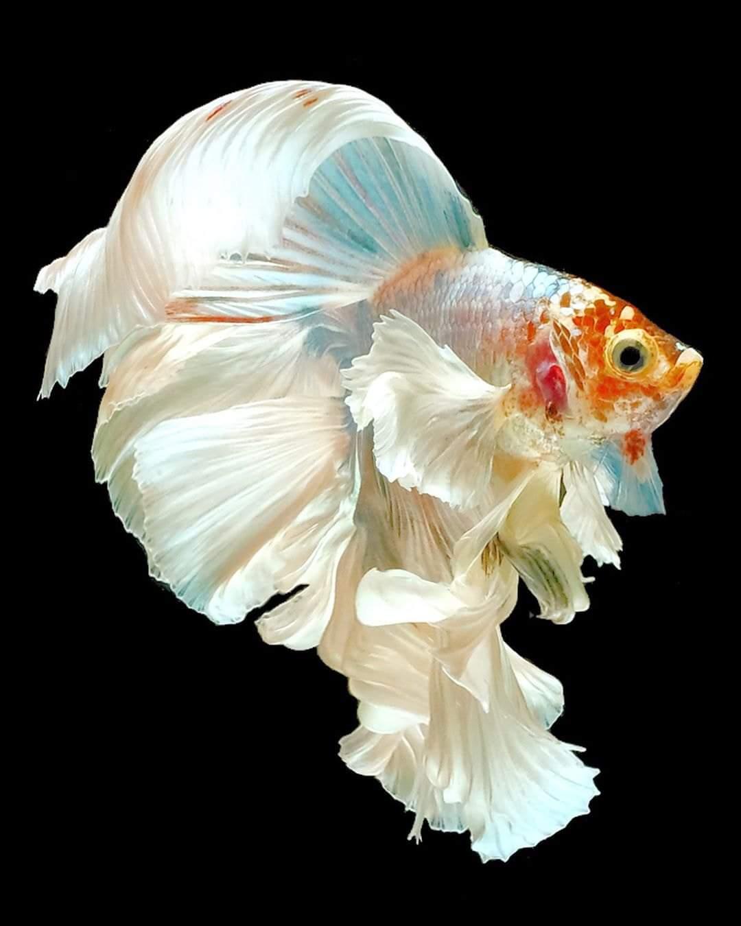 Indahnya Ikan Cupang, White Colour